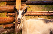 billy goat at a farm