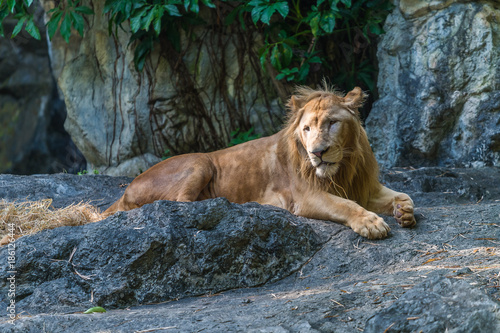 Foto op Canvas Natuur The young male lion is resting