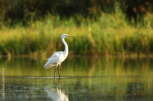 Ardea alba. The wild nature of the Czech Republic. Spring Glances. Beautiful nature of Europe. Big bird in water. Green color in the photo. Nice shot. - 186140638