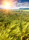 Young green ears of barley is growing in a field on background cloudy sky at sunlight. - 186145246