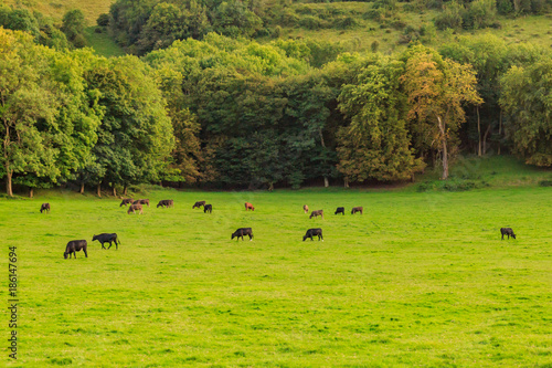 Tuinposter Pistache Cows in a Green Landscape