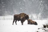 European Bison during winter  - 186150419