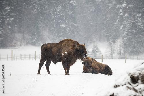 Aluminium Bison European Bison during winter