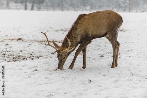 Foto op Canvas Natuur Winter shot with a Deer