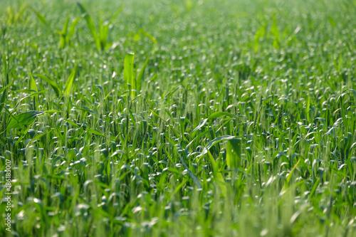 Growing wheat farm field plots - 186185007