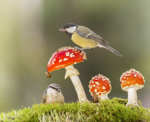 great tit on a mushroom with nuthatch