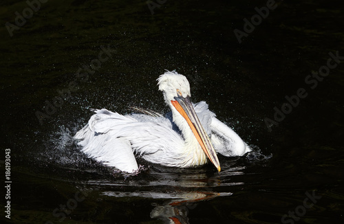 Fotobehang bird Dalmatian Pelican white matter floating on the dark lake spraying water drops with feathers