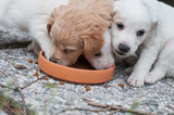cuccioli di cane trovati abbandonati un bosco in una scatola di cartone, bevono da un sottovaso di terracotta