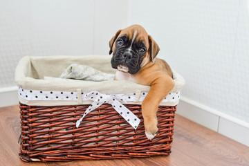 Brown German Boxer Puppy