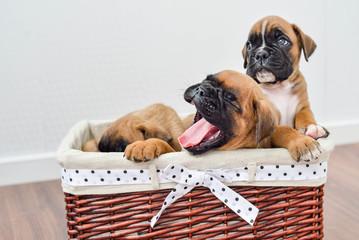 Brown German Boxer Puppies