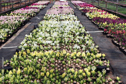 Fotobehang Tulpen Hyacinth. Field of colorful spring flowers hyacinths plants in greenhouse on sunlight for sale. Background texture photo of hyacinth flowers, floral pattern