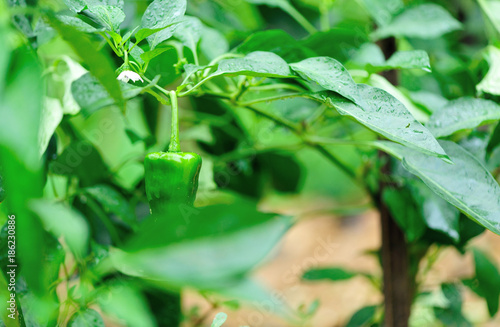 Green pepper plants in growth at vegetable garden - 186230886
