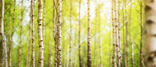 Foto Spatwand Berkenbos birch tree forest in morning light with sunlight