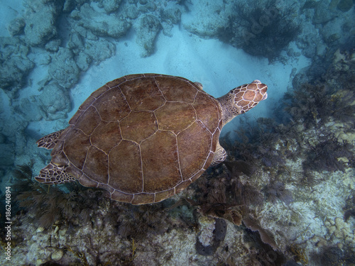 Green Sea Turtle (Florida) Poster