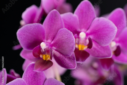 purple mini orchid on a black background - 186250689