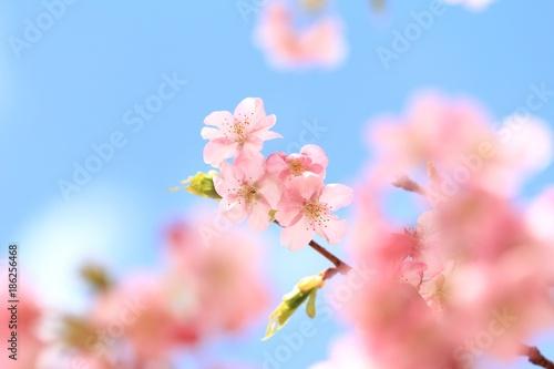 Fotobehang Lichtroze 青空と河津桜