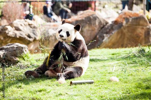Plexiglas Panda Panda prend la pose en mengeant