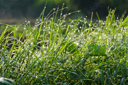 Foto op Plexiglas Gras Nature background of dew drops on grass in morning light