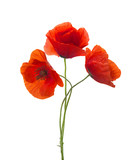 Three  red poppies isolated on white background. - 186290622