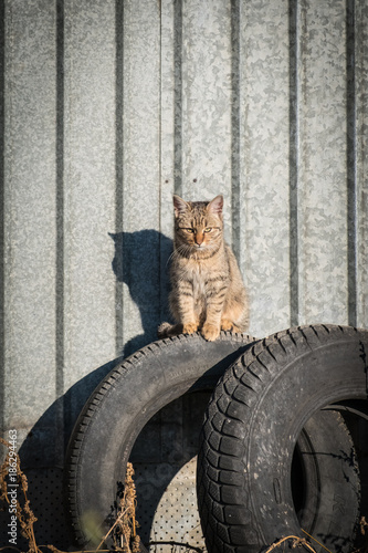 Adorable abandoned cat standing on old car tyres with corrugated steel backgroun Poster