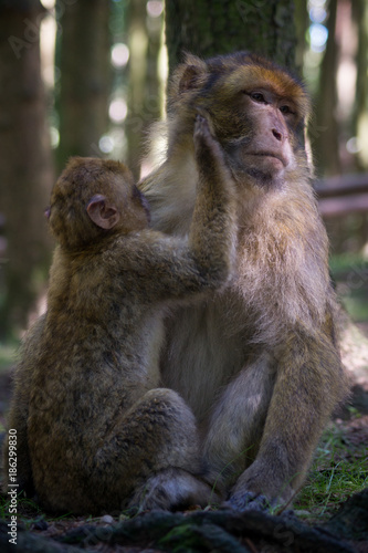 Fotobehang Aap Monkey mother and child