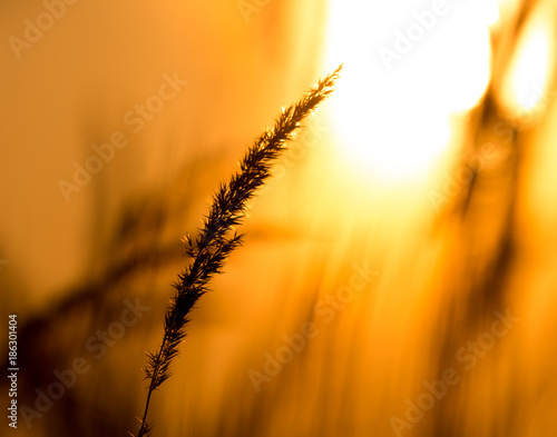 Tuinposter Gras Grass in the rays of sunset as background