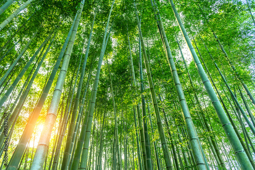 Fotobehang Bamboe bamboo forest. Nature background.