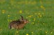 Leinwanddruck Bild - Feldhase sitzt in einer Löwenzahn Wiese, Frühling