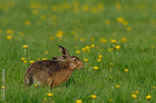 Leinwanddruck Bild Feldhase sitzt in einer Löwenzahn Wiese, Frühling