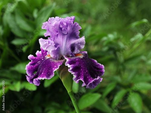 Fotobehang Iris Flowering hybrid iris
