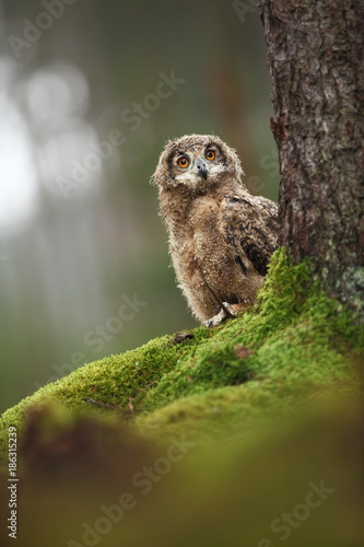 Bubo bengalensis. Autumn nature. Beautiful owl photo.