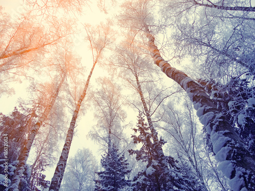 Fotobehang Beige winter landscape forest in snow frost with sunny light beams