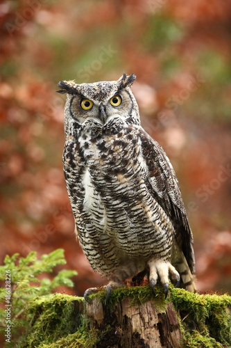 Bubo virginianus. Beautiful owl. He lives in North America. Autumn colors in the photo. Protected bird.