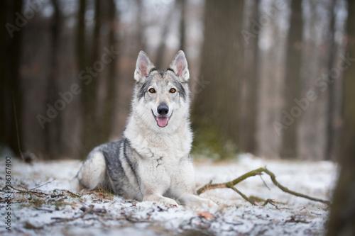 Foto op Canvas Natuur wolf in forrest in winter