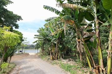 Banana plantations along the road before heading to the river.