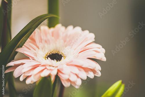 Fotobehang Gerbera Gerbera rose pastel