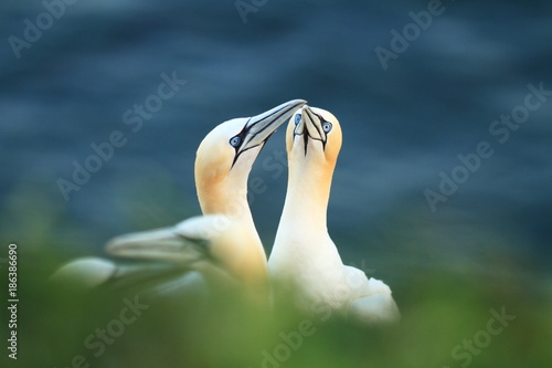 Fotobehang Zwaan Morus bassanus. Helgoland. Photographed in the North Sea. The wild nature of the North Sea. Bird on the Rock. Northern Gannet. The North Sea.