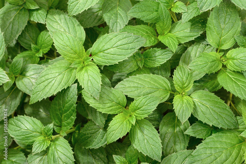 fresh peppermint leaves in the garden, top view