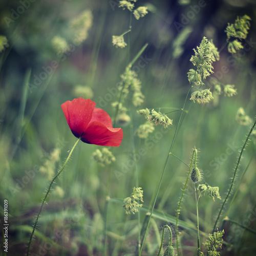 Poppy macro shot - 186391009