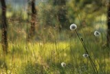 Prato in estate con erba e soffioni e vento.