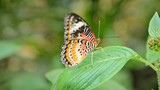 Cethocia Biblis (Red lacewings) butterfly on a leave - 186396823