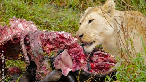 Lion eating carcass of wildebeest close 01
