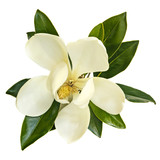 Magnolia Flower Top View Isolated on White - 186414467