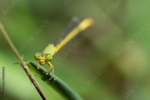 Zygoptera yellow green - 186419692