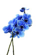 Orchid blue flower