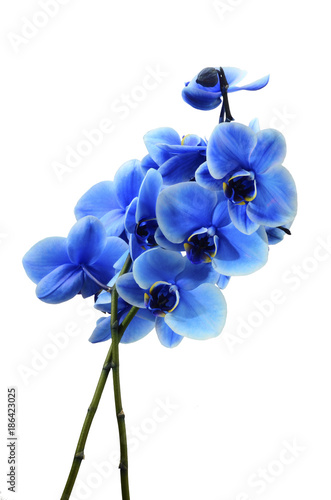 Orchid blue flower - 186423025