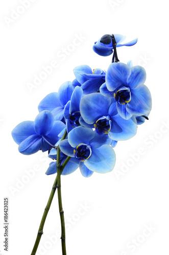Orchid blue flower - 186423025