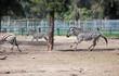 African zebras runs at park