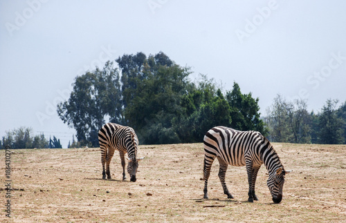 African zebras grazing at park - 186430279