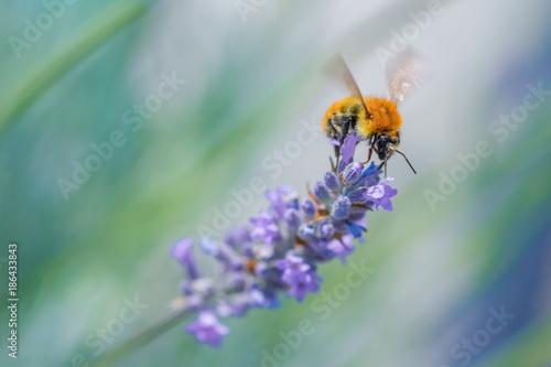 Fotobehang Lavendel Macro Bee